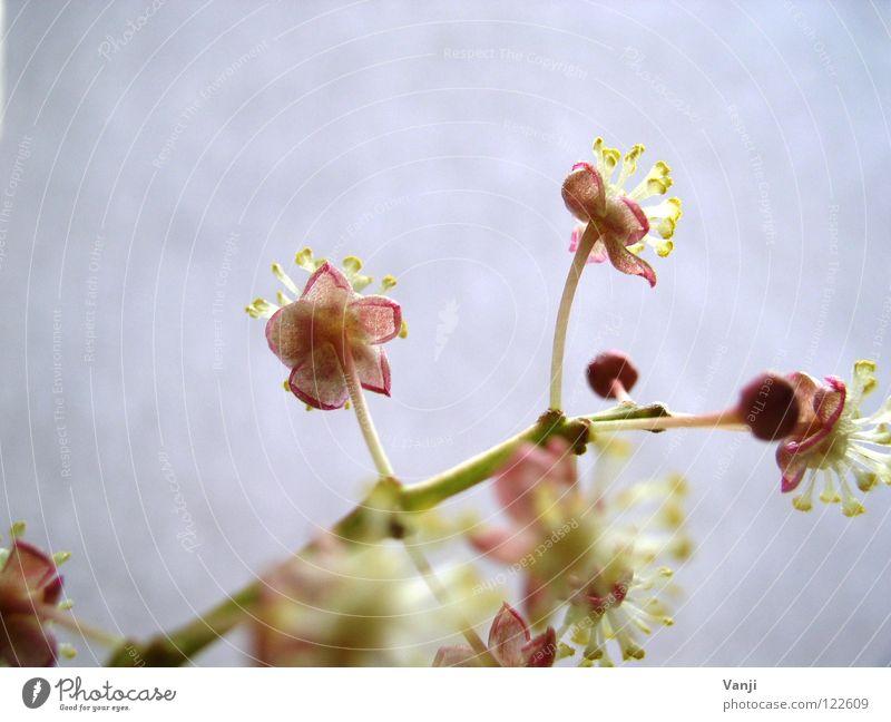 Frühlingsgefühle Blüte Pflanze zart zerbrechlich Stengel Leben rosa Zauberei u. Magie Natur Blütenknospen sanft
