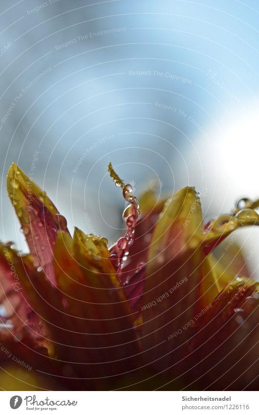 Drops Natur Pflanze Wasser Blume Regen Wassertropfen nass Tropfen