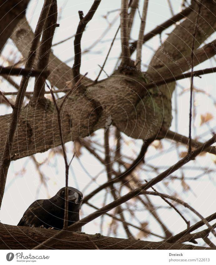 Aaskrähe II Vogel Luft gefiedert Schnabel schwarz dunkel braun Tier Baum Sträucher Blatt Baumkrone Krähe Rabenvögel Aasfresser Himmel fliegen Feder