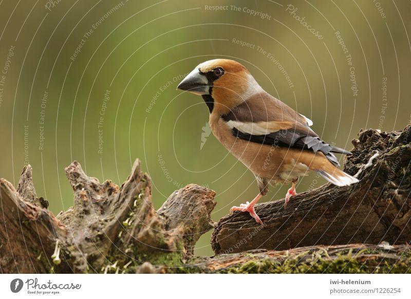 Kernbeißer Natur weiß Tier schwarz Holz grau braun Vogel stehen Wachsamkeit