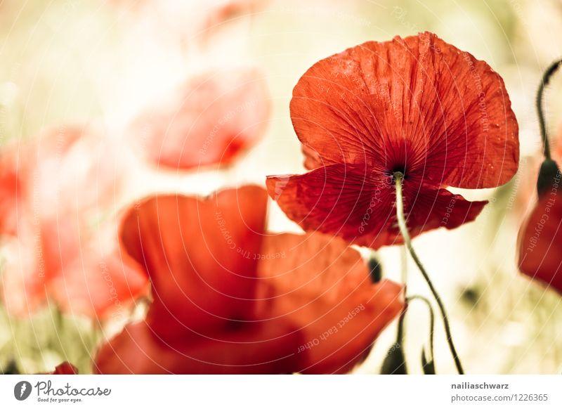 Mohnwiese Sommer Umwelt Natur Landschaft Pflanze Frühling Blume Wildpflanze Wiese Feld schön viele rot friedlich Idylle Klatschmohn mohnwiese Mohnfeld intensiv