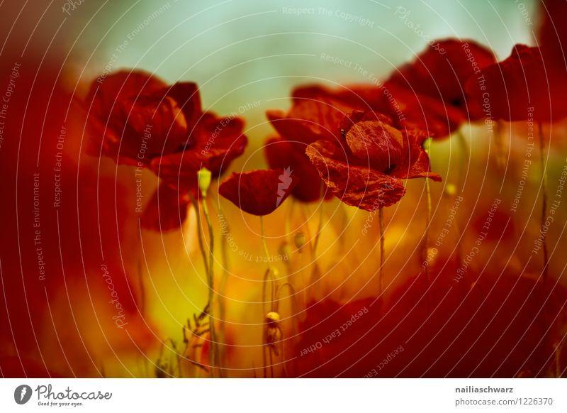 Mohnwiese Sommer Umwelt Natur Landschaft Pflanze Blume Wildpflanze Wiese Feld Blühend Wachstum schön viele rot Romantik friedlich Klatschmohn mohnwiese Mohnfeld