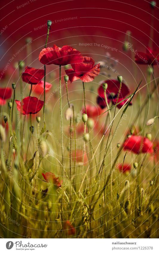 Mohnwiese Natur Pflanze grün schön Sommer Blume rot Landschaft Umwelt Blüte Wiese natürlich Feld Romantik viele