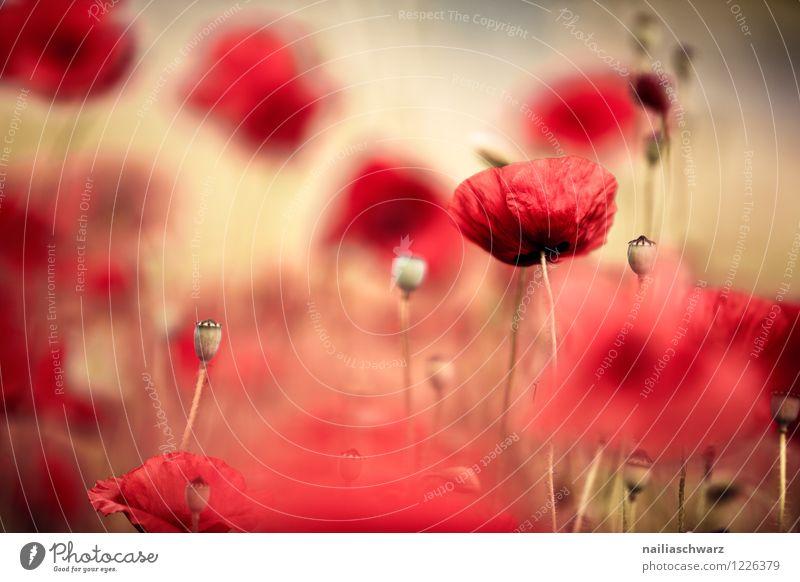Mohnwiese Sommer Pflanze Blume Wildpflanze Wiese Feld Blühend Wachstum frisch natürlich schön viele gelb rot Romantik friedlich Natur Klatschmohn mohnwiese