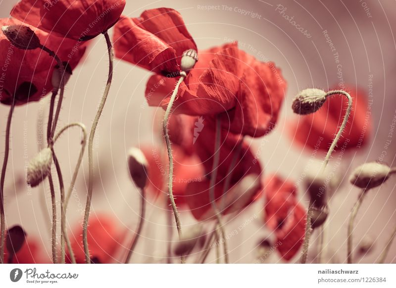 Mohnwiese Sommer Umwelt Natur Pflanze Blume Blüte Wildpflanze Wiese Feld natürlich viele rot Romantik friedlich Idylle Klatschmohn mohnwiese Mohnfeld intensiv