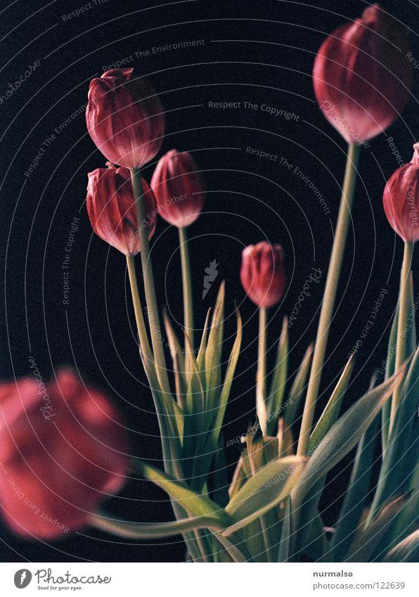 Tulpenpower 4 Pflanze schön Farbe weiß Blume rot schwarz kalt gelb Gefühle Frühling Gras rosa 2 orange ästhetisch
