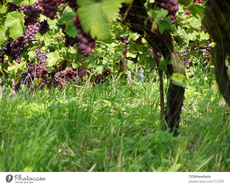 Weinreben Wein Weintrauben Rotwein