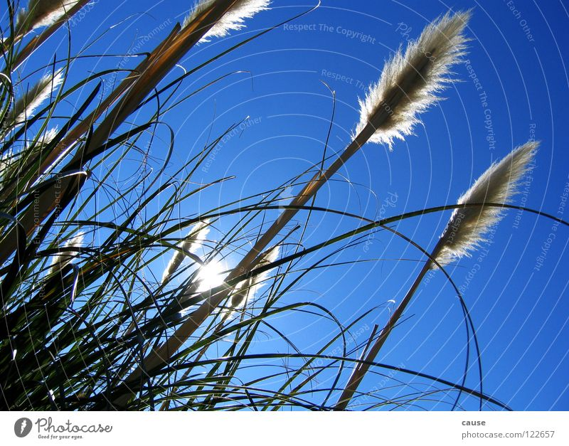 Wiesenglück Halm Gras Stroh grün Frühling Sonne blau Himmel Wind