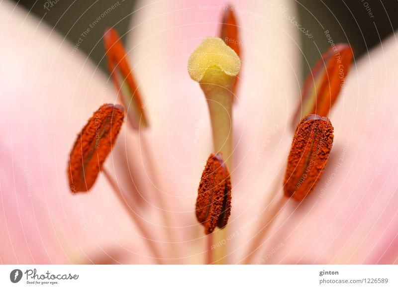Blüten makro Natur Pflanze Blume Blatt ästhetisch Duft frisch saftig gelb rosa Blütenkelch Staubfäden Fruchtblätter Pollen Narbe Blütenblatt farbintensiv feucht