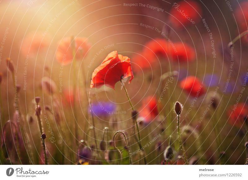 I looooove it Mohn elegant Stil Design Natur Pflanze Schönes Wetter Blume Gras Blüte Wildpflanze Klatschmohn Mohnfeld Kornblume Blütenstiel Wiese Rauschmittel