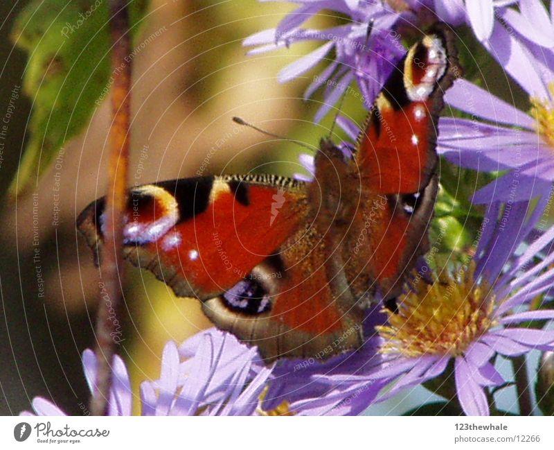 Pfauenauge Schmetterling Astern