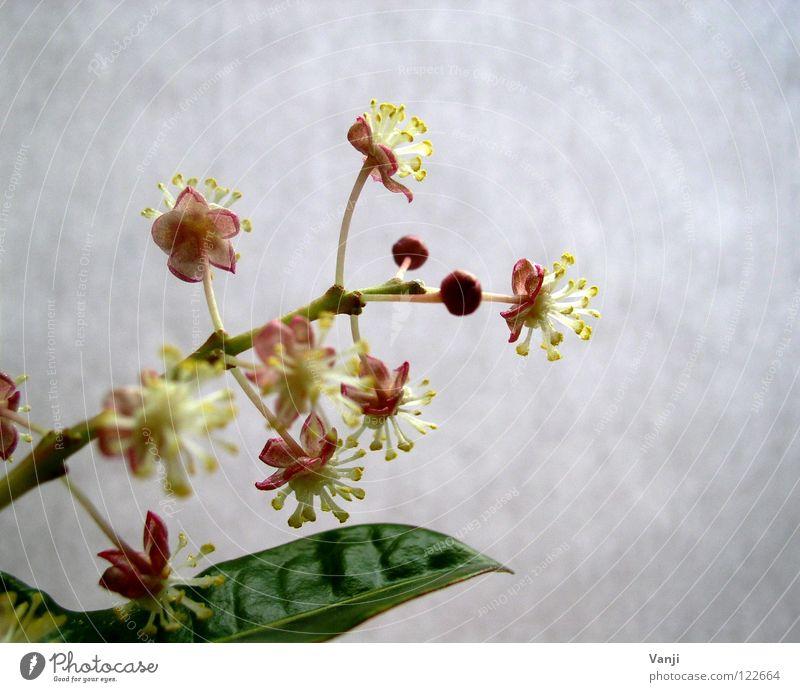 Frühlingserwachen Blüte Pflanze zart zerbrechlich Stengel Leben rosa Makroaufnahme Nahaufnahme Zauberei u. Magie Natur Blütenknospen sanft