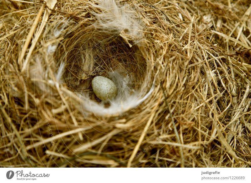 Island Natur Tier Frühling Bauwerk Nisthöhle Vogeleier Bachstelze Feder Tierjunges klein natürlich Wärme wild weich Vertrauen Sicherheit Schutz Geborgenheit