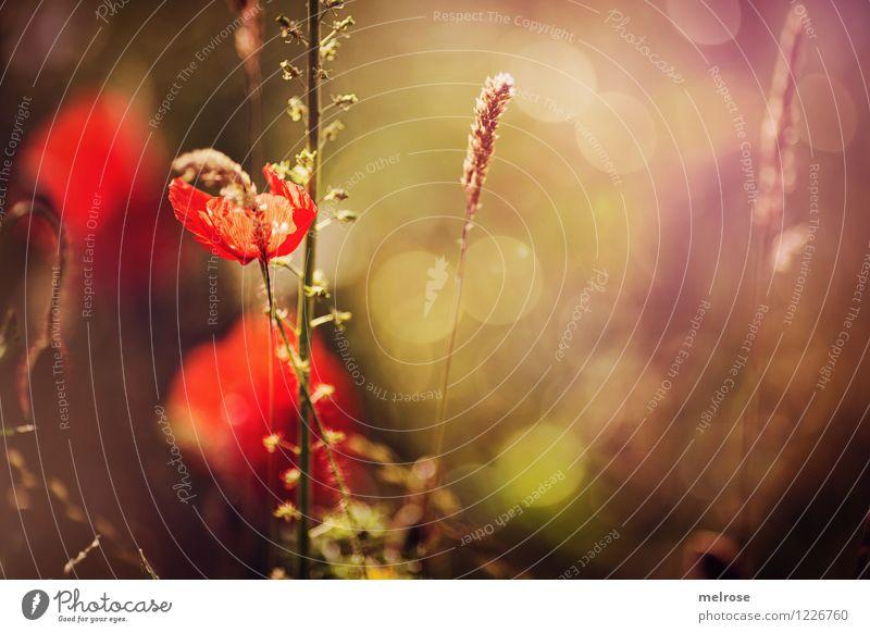 Dienstags-MOHN II elegant Stil Design Natur Pflanze Sommer Schönes Wetter Gras Blüte Wildpflanze Mohn Klatschmohn Farn Gräserblüte Wiese Bokeh Lichtspiel