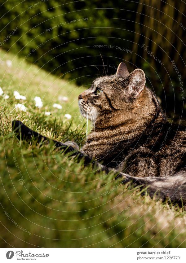 Katze im Gras Natur Landschaft Tier Frühling Sommer Schönes Wetter Garten Haustier Fell 1 beobachten liegen warten braun mehrfarbig gelb grün Gelassenheit