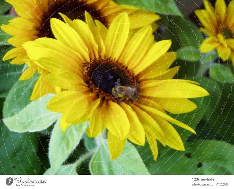 sehr sonnig Sonne grün gelb Biene Sonnenblume