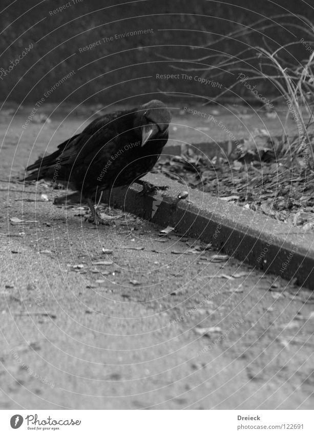 Die fündige Krähe Himmel Natur blau Tier schwarz Landschaft dunkel grau Glück Sand Stein Luft Vogel Erde fliegen Feder