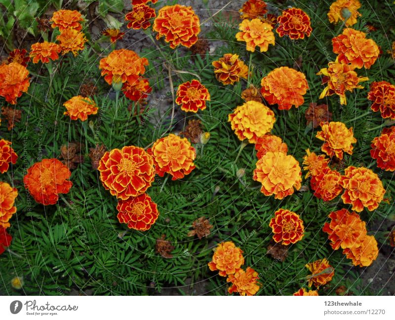 Tagetes Blume orange