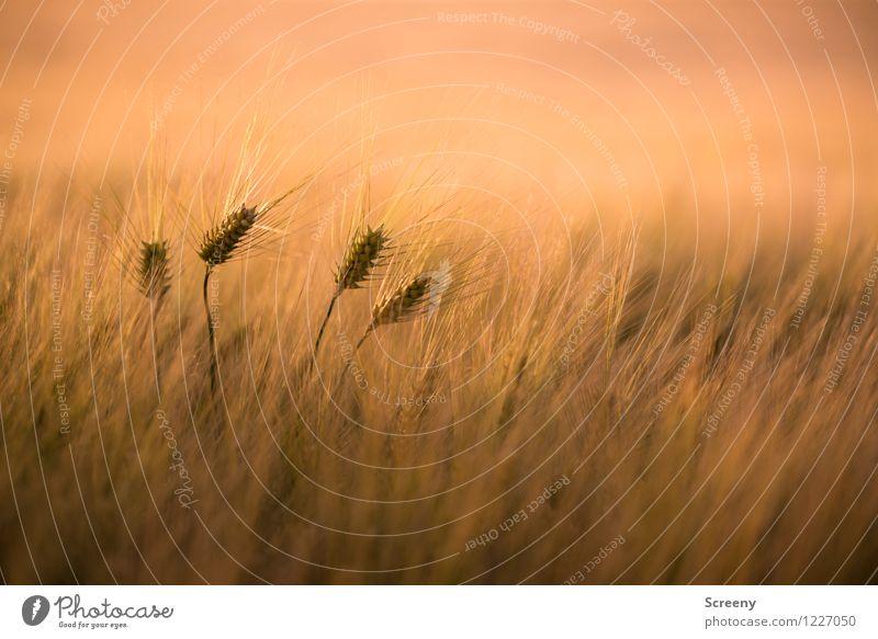 Vier Korn bitte! Landwirtschaft Forstwirtschaft Natur Landschaft Pflanze Frühling Sommer Schönes Wetter Nutzpflanze Weizen Feld Wachstum gelb geduldig ruhig