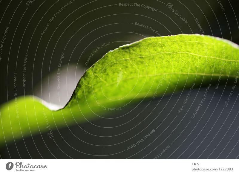 Blatt Natur Pflanze schön grün Farbe Sommer ruhig Frühling natürlich leuchten frisch elegant authentisch ästhetisch Blühend