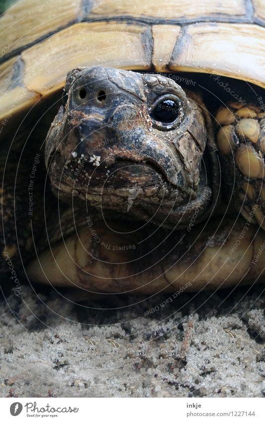 Oskar, 38 Jahre alt Haustier Wildtier Tiergesicht Schildkröte Landschildkröte 1 Blick authentisch außergewöhnlich nah niedlich Artenschutz Farbfoto
