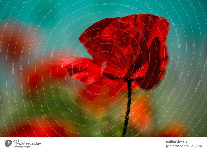 Mohn Natur Pflanze schön Farbe Sommer rot Wiese natürlich Feld leuchten Blühend Schönes Wetter Romantik viele türkis