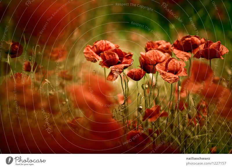 Mohnwiese Sommer Umwelt Natur Landschaft Pflanze Blume Blüte Wildpflanze Wiese Feld Blühend schön viele rot Romantik friedlich Farbe Klatschmohn mohnwiese