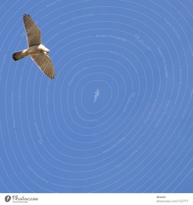 Buteo buteo Himmel blau Vogel fliegen Feder Flügel Jagd Schönes Wetter Schweben Schnabel Greifvogel Jena Bussard Mäusebussard