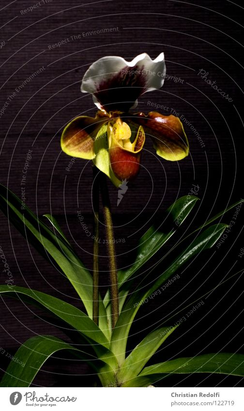 Orchidee weiß Pflanze schwarz gelb Blüte Blütenknospen Kelchblatt Frauenschuh