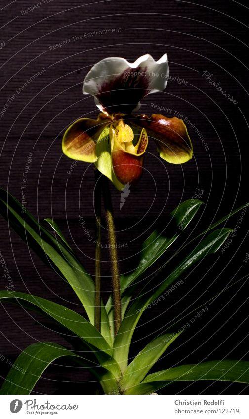 Orchidee weiß Pflanze schwarz gelb Blüte Blütenknospen Orchidee Kelchblatt Frauenschuh