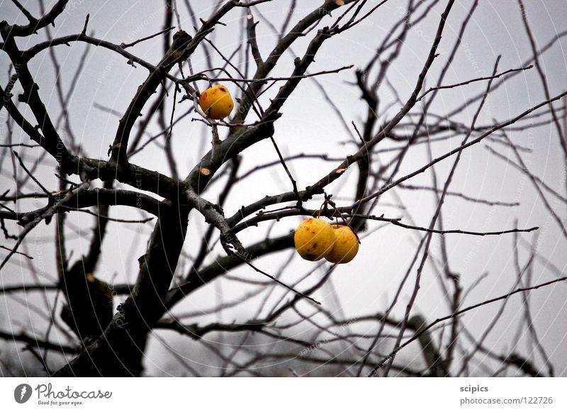 blühende Landschaften Baum grau Herbst kalt Apfel Frucht Traurigkeit