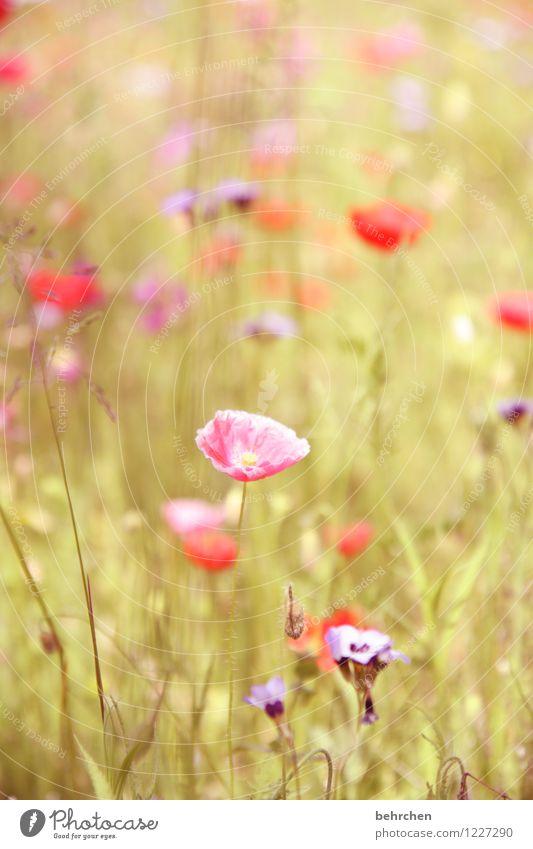 pink mo(h)nday Natur Pflanze Frühling Sommer Herbst Schönes Wetter Blume Gras Blatt Blüte Wildpflanze Mohn Garten Park Wiese Feld Blühend Duft verblüht Wachstum