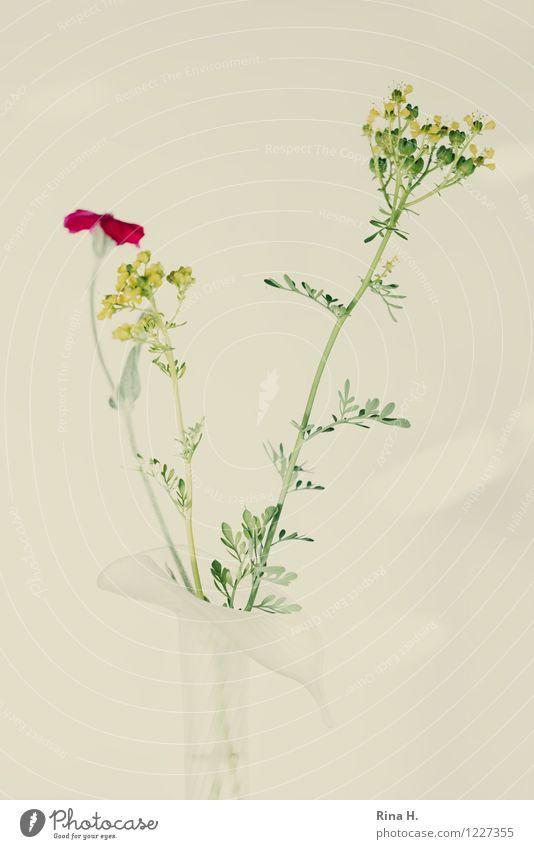 VerBlassen Blume Blühend verblüht elegant Vase Stillleben bleich Kräuter & Gewürze Farbfoto Außenaufnahme Menschenleer Textfreiraum links Textfreiraum rechts