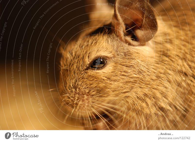 Degu sagt Hallo Haare & Frisuren Ohr Tier Fell Haustier Maus weich braun Hamster Ratte Schnurrhaar Säugetier degu degus chin chinchilla goldhamster teddyhamster