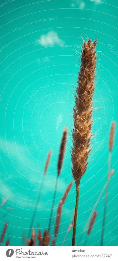 Was bin ich? [ ] Roggen, [ ] Weizen, [ ] Gerste oder [ ] Hafer? Wolken Ähren Halm Außenaufnahme Sommer Landleben Landwirtschaft Gesundheit Luft Himmel Korn