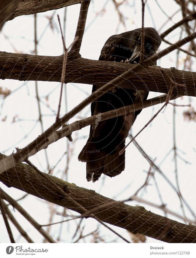 Aaskrähe III Vogel Luft gefiedert Schnabel schwarz dunkel braun Tier Baum Sträucher Blatt Baumkrone Krähe Rabenvögel Aasfresser Himmel fliegen Feder