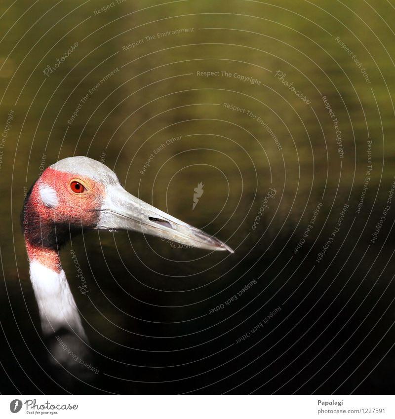 Saruskranich Umwelt Natur Teich See Tier Vogel Kranich 1 beobachten ästhetisch elegant natürlich schön grau grün rot Frühling Sommer Schnabel Kopf Leben Blick