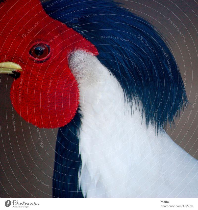 Ich seh dir in das Auge, Kleines Fasan Vogel weiß schwarz rot Feder Schnabel Makroaufnahme Nahaufnahme Silberfasan Maske Blick Perspektive Momentaufnahme