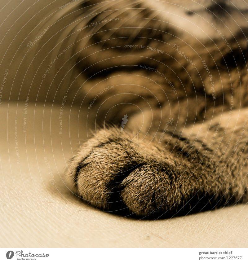 Katzenpfote Tier Haustier Fell Pfote 1 Erholung schlafen warten braun mehrfarbig gelb gold Farbfoto Innenaufnahme Nahaufnahme Detailaufnahme Menschenleer