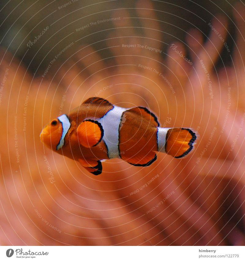 nemocase Wasser Pflanze Meer Fisch tauchen Zoo Urwald Kuba exotisch Aquarium Korallen Tier Bahamas Clownfisch Findet Nemo