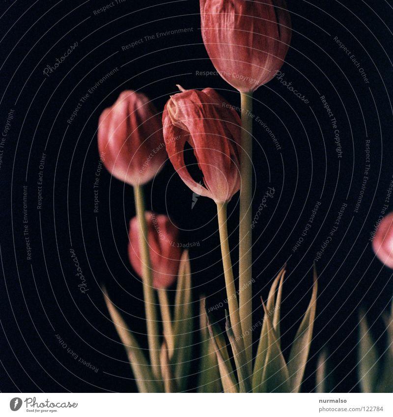 Tulpenpower 7 Pflanze schön Farbe weiß Blume rot schwarz kalt gelb Gefühle Frühling Gras rosa 2 orange ästhetisch