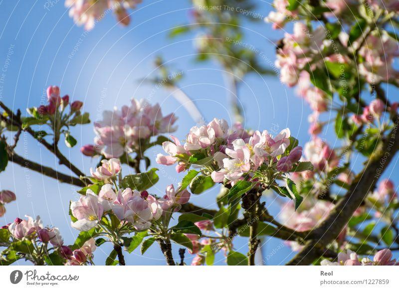 Kirschblüten Kirsche Natur Pflanze Frühling Schönes Wetter Blatt Blüte Grünpflanze Wildpflanze Kirschbaum Zweige u. Äste Garten Park Wachstum rosa weiß