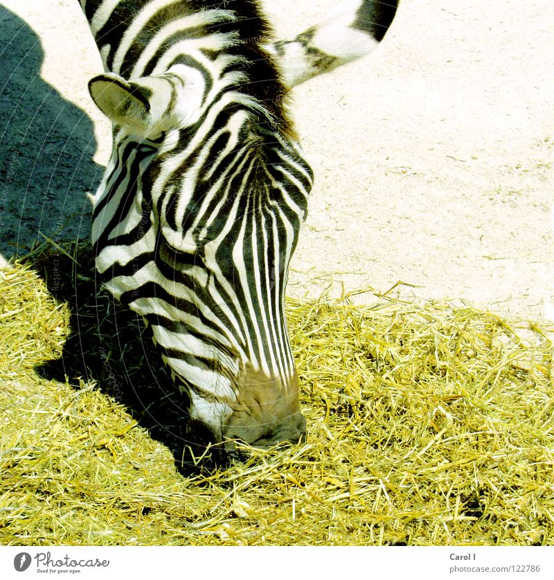 Mahlzeit! Zebra Streifen gestreift Nüstern bücken Fressen Appetit & Hunger gelb schwarz weiß Mähne Zoo geduldig Mittag Mittagessen Abendessen Lust Tier Afrika