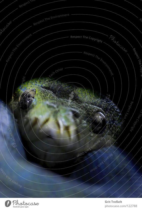 Baumpython grün blau schwarz Zoo hängen Schlange Reptil Terrarium