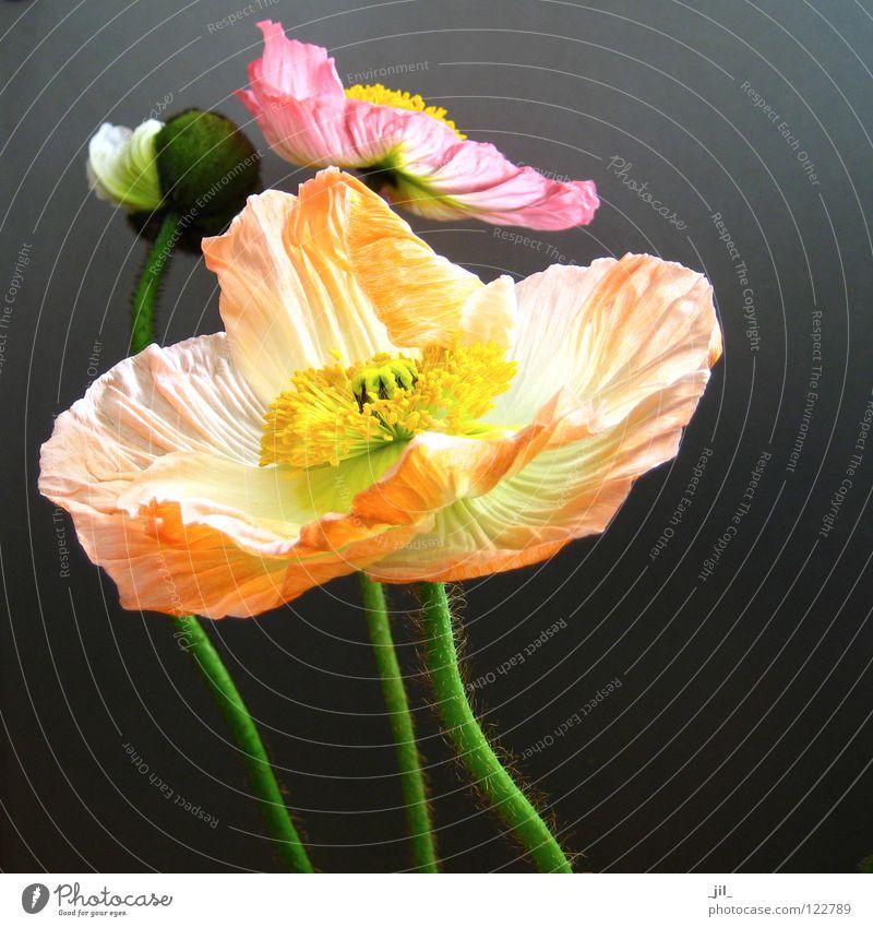 drei mohnblumen schön weiß Blume grün schwarz gelb Bewegung grau Tanzen orange rosa 3 geschlossen mehrere rund