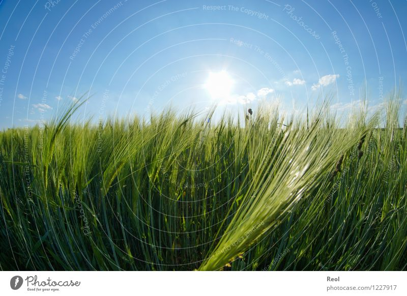 Gerstenfeld Lebensmittel Natur Himmel Wolkenloser Himmel Sonnenlicht Sommer Schönes Wetter Pflanze Nutzpflanze Kornfeld Getreide Feld blau grün Wachstum