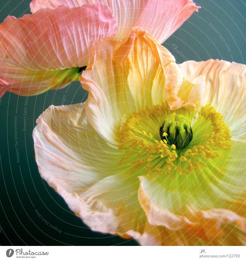 zwei mohnblumen 3 schön weiß Blume grün schwarz gelb Bewegung grau 2 orange rosa rund offen Mohn leicht