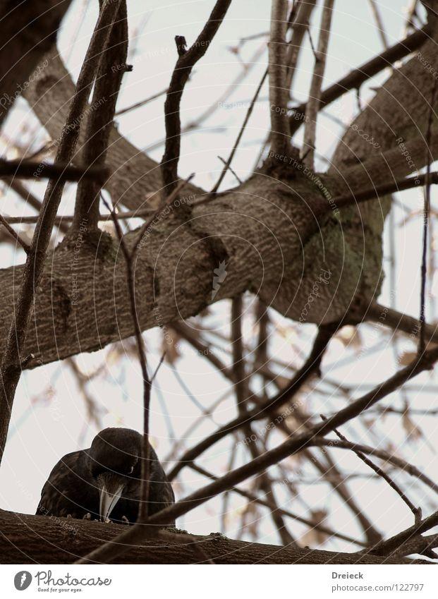 Aaskrähe IV Vogel Luft gefiedert Schnabel schwarz dunkel braun Tier Baum Sträucher Blatt Baumkrone Krähe Rabenvögel Aasfresser Himmel fliegen Feder Sonne