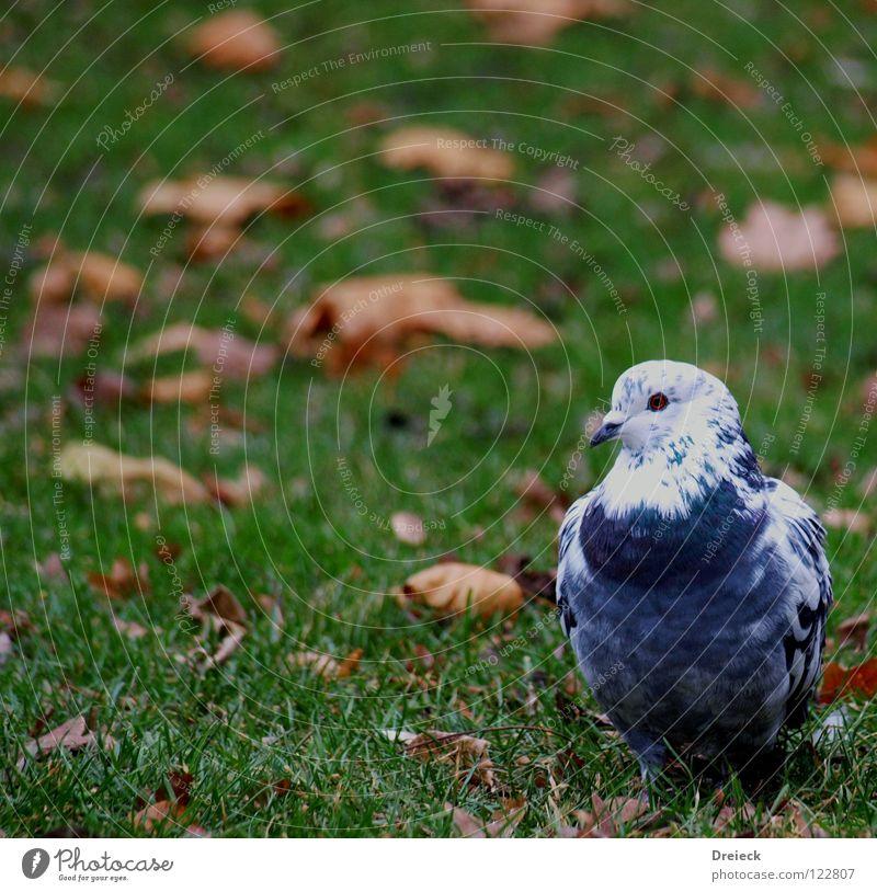 Platzwart Taube Vogel gefiedert Schnabel grün weiß Tier Wiese Gras watscheln Luft Blatt Halm füttern Korn Park Himmel Flügel Feder Schönes Wetter blau Natur