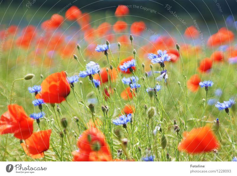 Sommerpracht in Mohn und Korn Umwelt Natur Pflanze Schönes Wetter Blume Blüte Feld hell natürlich blau mehrfarbig grün rot Kornblume Mohnblüte Farbfoto